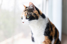 Female Cute Curious Calico Cat...