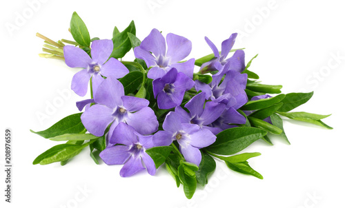Cuadros en Lienzo Bouquet of blue periwinkle with green leaves isolated on white background
