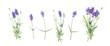 Leinwandbild Motiv Floral banner flat lay Lavender flowers