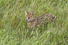 Serval Hunting In The Green Gr...
