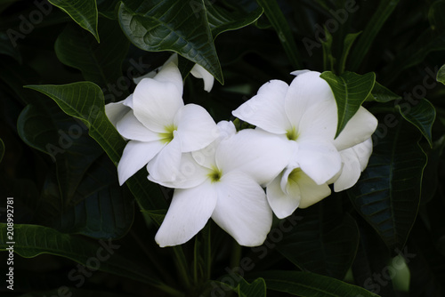 Pretty Jessamine White Flowers With Yellow Center Infront Of Green