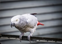 Close Up On Grey Parrot