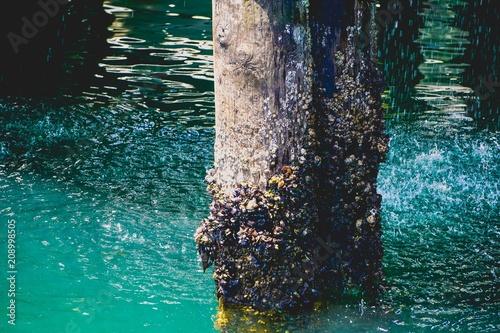 Fotografie, Obraz  barnacles on a post in the ocean