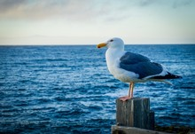 Seagull Standing On A Wooden Post In Front Of The Ocean