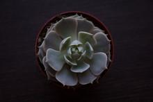 Echeveria Lola Succulent Plant...
