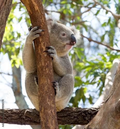Staande foto Koala A wild Koala clinging to the limb of a eucalyptus tree on Kangaroo Island, Australia