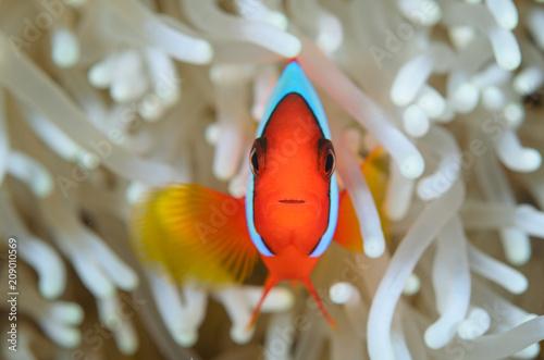 Foto Clownfish