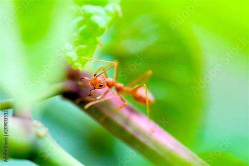Plakat Zbliżenie czerwona mrówka z zamazanym lekkim tłem
