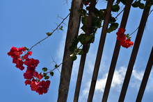Wood Trellis With Pink Bougainvillea Flowers