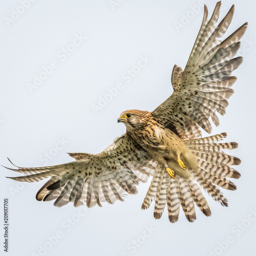 Photo  Kestrel
