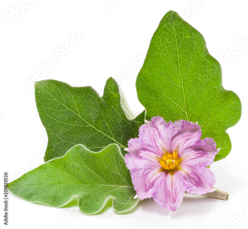 Aubergine or eggplant flower and leaves on white background.