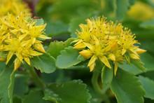 Flowers Sedum