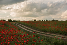 A Dirt Road Among The Poppy Fi...