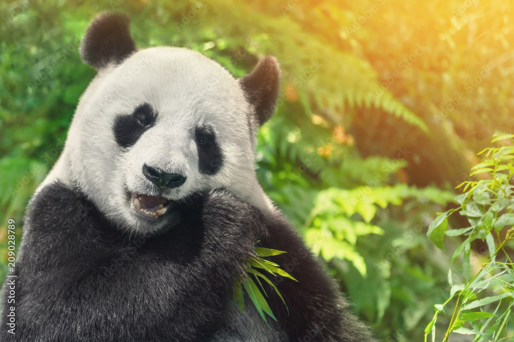 Black and white panda eating grass