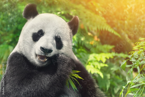 Stickers pour portes Panda Black and white panda eating grass
