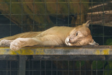 Sleeping Cougar, Close-up