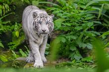 Beautiful White Tiger Albino W...