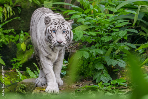Beautiful white tiger albino with blue eyes walking through the forest