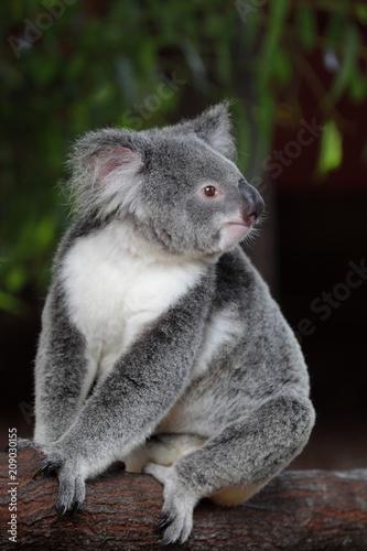 Staande foto Koala Koala (Phascolarctos cinereus) in Queensland, Australien.