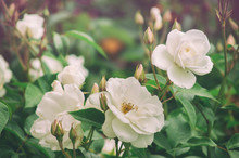 Beautiful Bush Flowers White G...