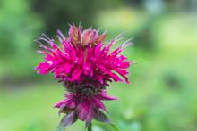 Bee Balm Monarda Didyma
