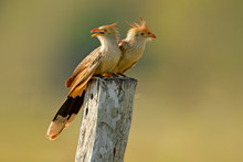 Guira Cuckoo Pair, Guira Guira, In Nature Habitat, Birds Sitting In Perch, Mato Grosso, Pantanal, Brazil. Cuckoo From Brazil. Hot Summer In Nature.