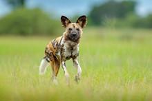 African Wild Dog, Walking Green Grass, Botswana, Africa.