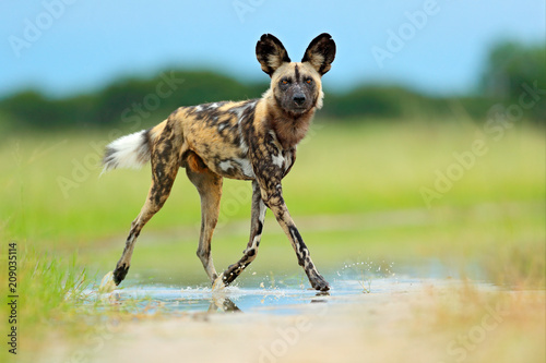 Photo  African wild dog, Lycaon pictus), walking in the water on the road