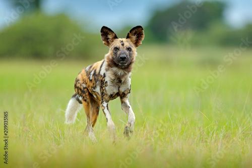 Fényképezés African wild dog, walking green grass, Botswana, Africa.