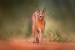 canvas print picture - Caracal, African lynx, in green grass vegetation. Beautiful wild cat in nature habitat, Botswana, South Africa. Animal face to face walking on gravel road, Felis caracal.