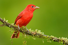 Summer Tanager, Piranga Rubra, Red Bird In The Nature Habitat. Tanager Sitting On The Green Tree. Birdwatching In Costa Rica. Wildlife Scene From Nature, Laguna De Lagarta Lodge, Costa Rica.