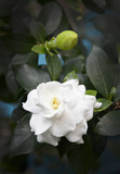 White gardenia flower on dark background.