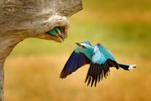 Roller In Nest Tree Hole, Nesting Time In Spring. Birdwatching In Hungary. Nice Colour Light Blue Bird European Roller Flying In Nature Habitat. Wildlife Scene From Europe.