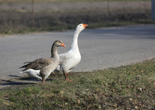 Two Gooses On Meadow