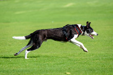 A Black & White Lurcher Dog Running Fast In The Park
