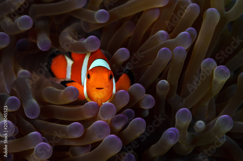 Clownfish Wallpaper Mural