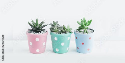 Fototapeta Succulent In the cute pot White background  obraz
