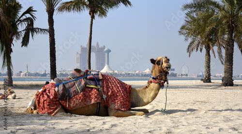 Kamel mit Sattel und Decke mit der Skyline von Abu Dhabi im Hintergrund
