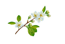Flowering Branch Of Cherry Iso...