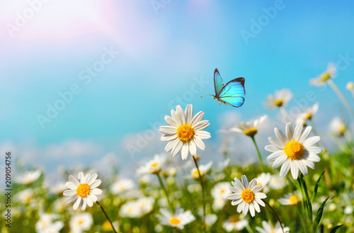 Foto  Chamomiles daisies macro in summer spring field on background blue sky with sunshine and a flying butterfly, close-up macro