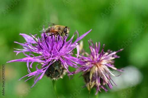 Tuinposter Macrofotografie Bee perched on purple flower.