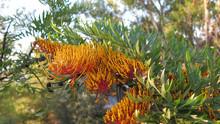 Grevillea Australian Silver Oak Flowers