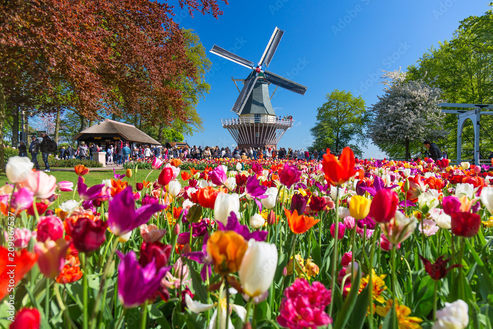 Fototapety, obrazy: Blooming colorful tulips flowerbed in public flower garden with windmill. Popular tourist site. Lisse, Holland, Netherlands.