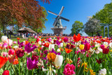 Fototapeta Tulips - Blooming colorful tulips flowerbed in public flower garden with windmill. Popular tourist site. Lisse, Holland, Netherlands.