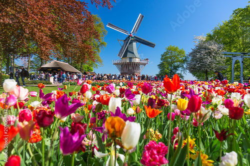 Staande foto Tulp Blooming colorful tulips flowerbed in public flower garden with windmill. Popular tourist site. Lisse, Holland, Netherlands.