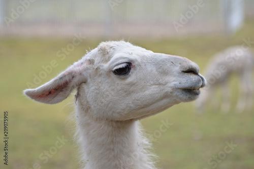 Staande foto Lama White llama (Lama glama) portrait.