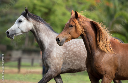 Fotografie, Obraz  Cavalo Árabe, Horse Arabian
