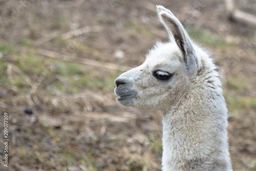 Keuken foto achterwand Lama White baby llama portrait