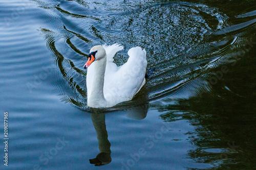 Foto op Plexiglas Zwaan White swan in the water.
