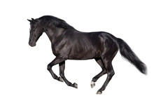 Black Horse Run Gallop Isolated On White